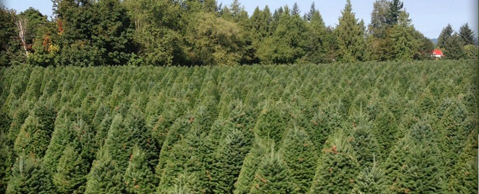 Guerrero Christmas Tree Farms