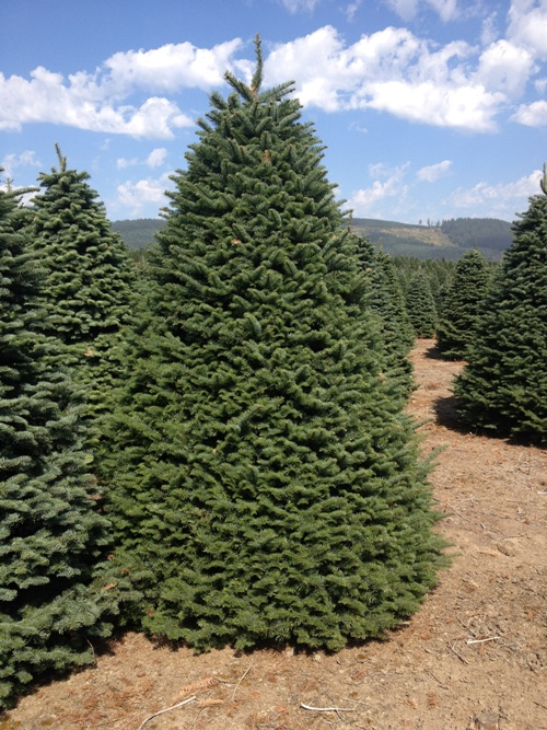 Oregon Christmas Trees available for purchase at Guerrero ...